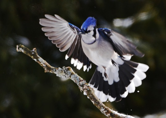 BlueJay1Feb15#042E4c5x7