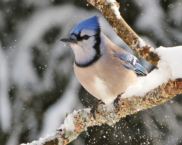 BlueJay3Feb15#031E2c8x10