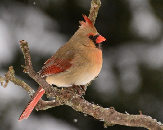 Cardinal4Feb15#024E3c8x10