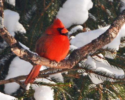 Cardinal6Feb15#096E2c8x10