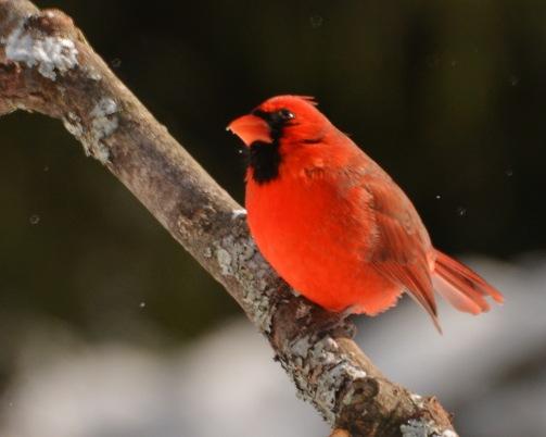 Cardinal6Feb15#110E2c8x10