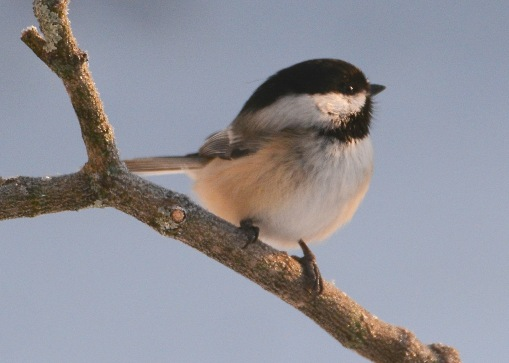 Chickadee11Feb15#017E2c5x7