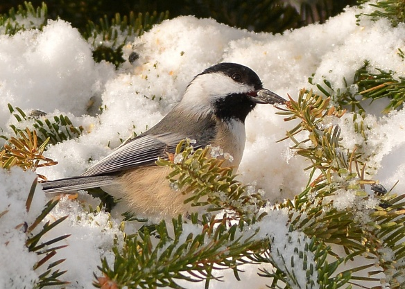 Chickadee23Feb15#010E2c5x7
