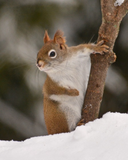 RedSquirrel11Feb15#123E2c8x10