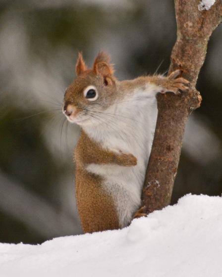 RedSquirrel11Feb15#123E2c8x10