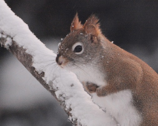 RedSquirrel13Feb15#056E2c8x10