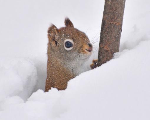 RedSquirrel13Feb15#161E2c8x10