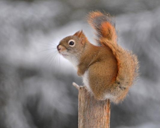 RedSquirrel15Feb15#048E2c8x10