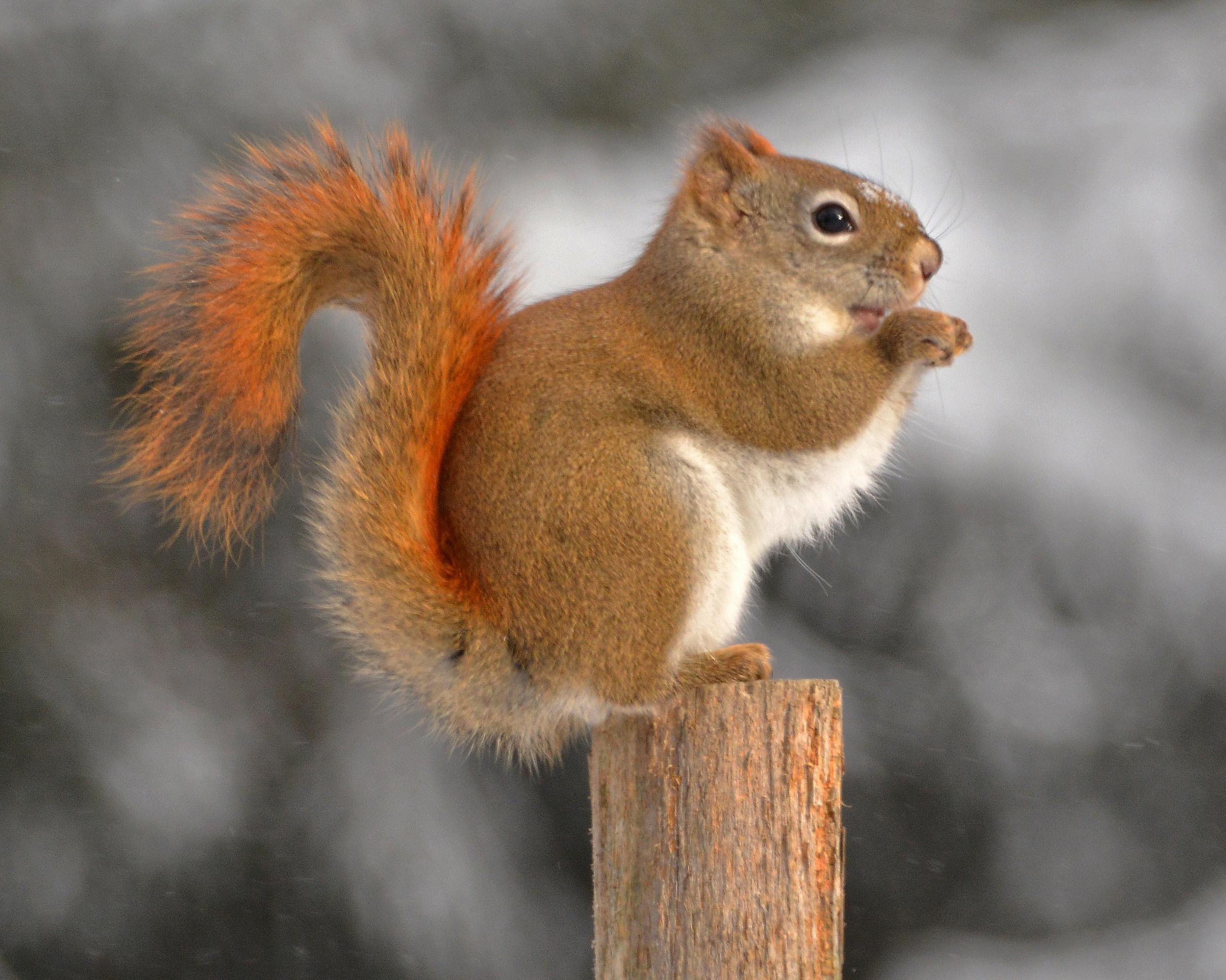 American red squirrel - Tamiasciurus hudsonicus : WAZA : World ...