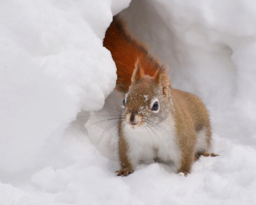RedSquirrel17feb15#063E3c8x10