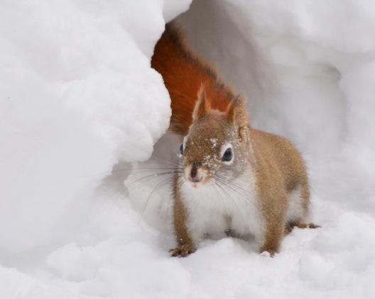 RedSquirrel17feb15#063E3c8x10