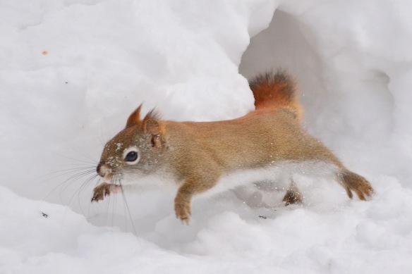 RedSquirrel17Feb15#065E3c4x6