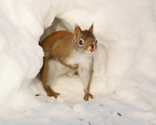 RedSquirrel18Feb15#041E2c8x10