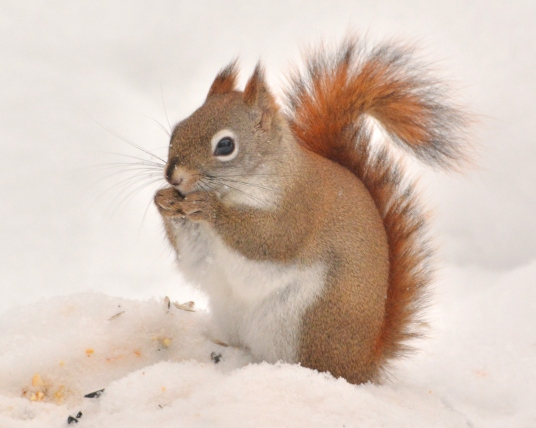 RedSquirrel9Feb15#020Ec8x10