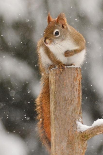 RedSquirrel9Feb15#165E2c4x6