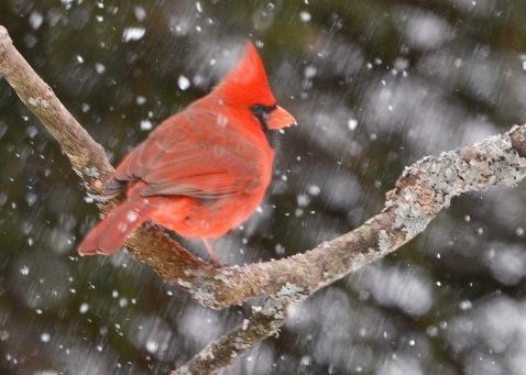 Cardinal20Mar15#041E2c5x7