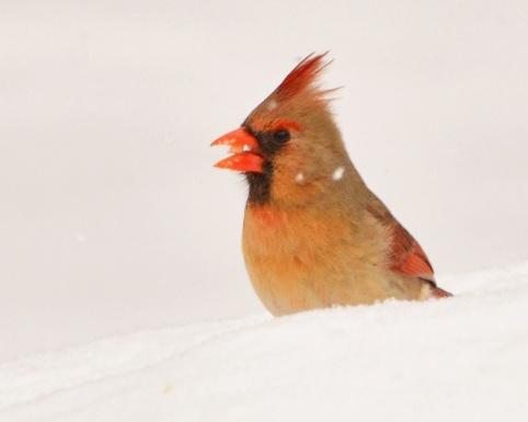 Cardinal20Mar15#061E2c8x10