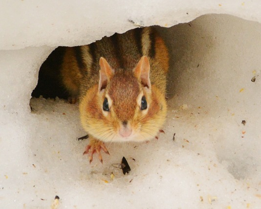 Chipmunk14Mar15#025E2c8x10