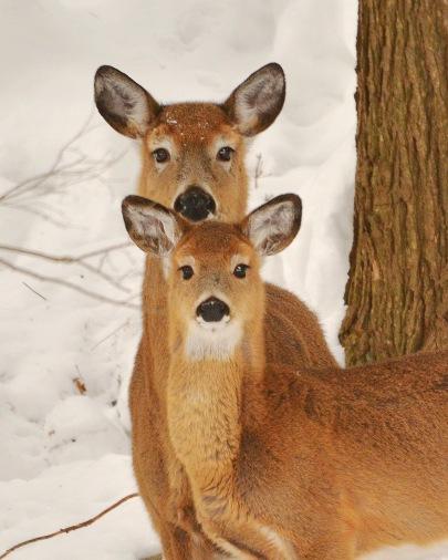Deer3Mar15#036E4c8x10