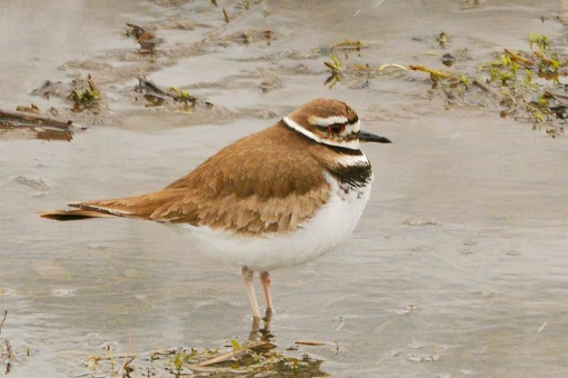 Killdeer27Mar15#092E2c4x6