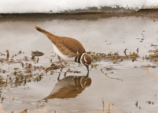 Killdeer27Mar15#105E2c5x7