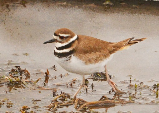 Killdeer27Mar15#109E2c4x6