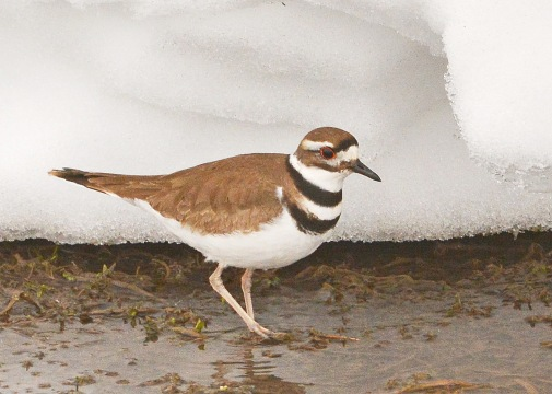 Killdeer27Mar15#133E3c5x7