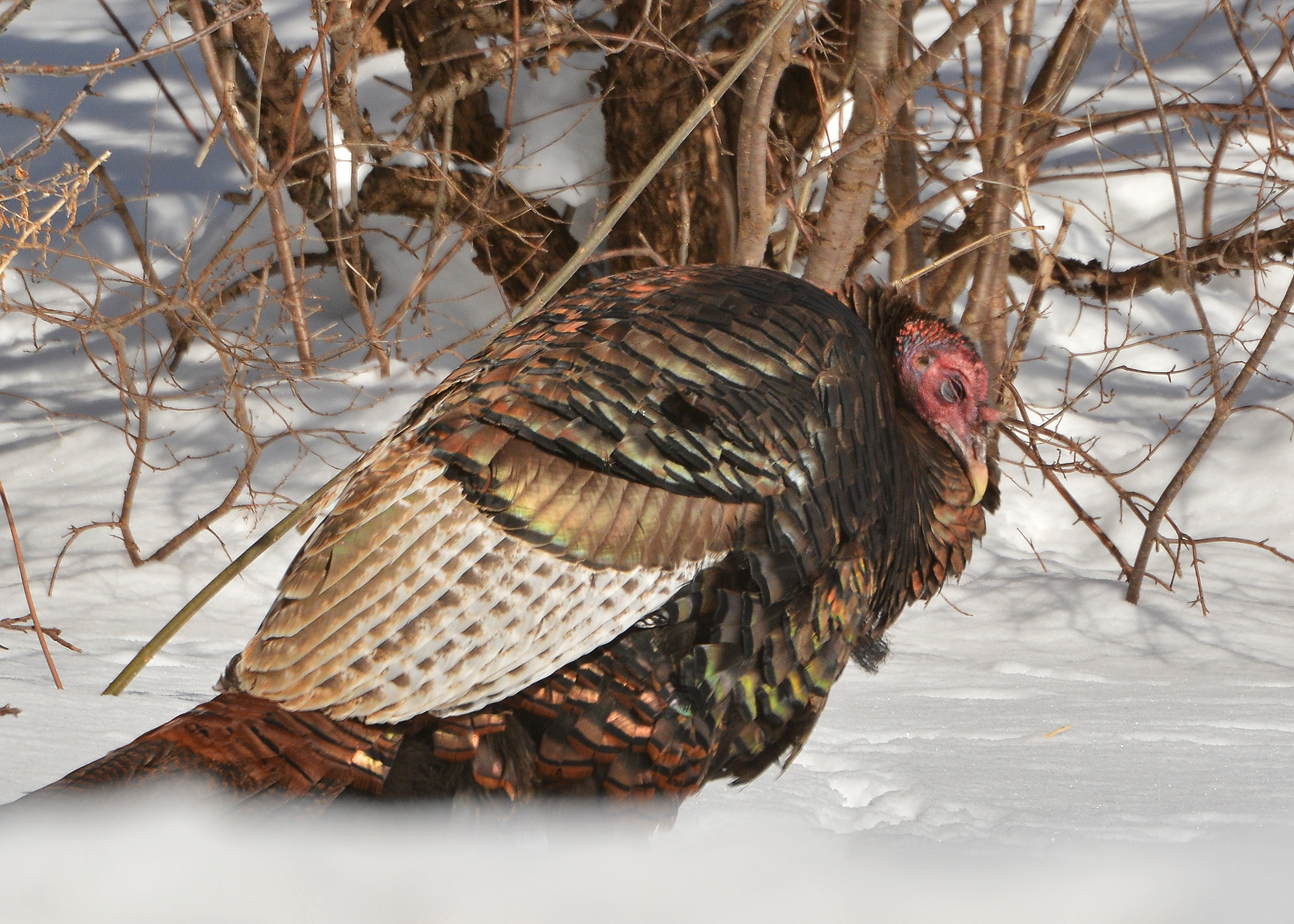 wild turkeys in deep snow nick 39 s nature pics. Black Bedroom Furniture Sets. Home Design Ideas