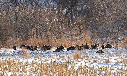 Turkeys10Jan15#032E4c3x5