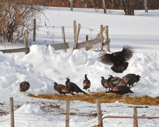 Turkeys27feb15#024E2c8x10
