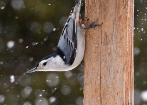 WBNuthatch20Mar15#024E2c5x7