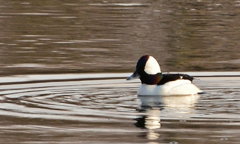 Bufflehead10Apr15#068E2c3x5