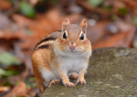 Chipmunk22Apr15#037E2c5x7