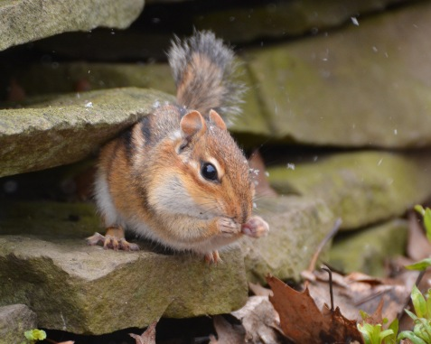 Chipmunk24Apr15#047E2c8x10