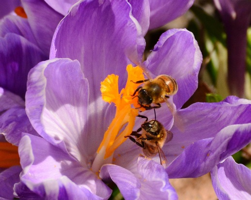 CrocusBees15Apr15#073E2c8x10
