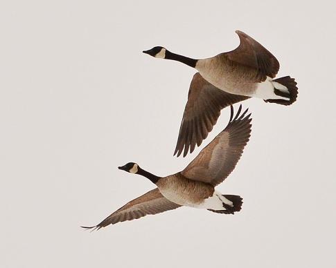 Geese31Mar15#052E2c8x10