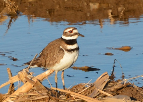 Killdeer25Apr15#053E2c5x7