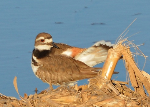 Killdeer25Apr15#058E2c5x7