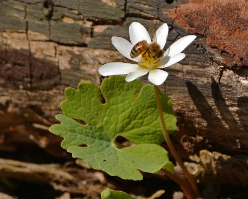 Bloodroot1May15#065E2c8x10