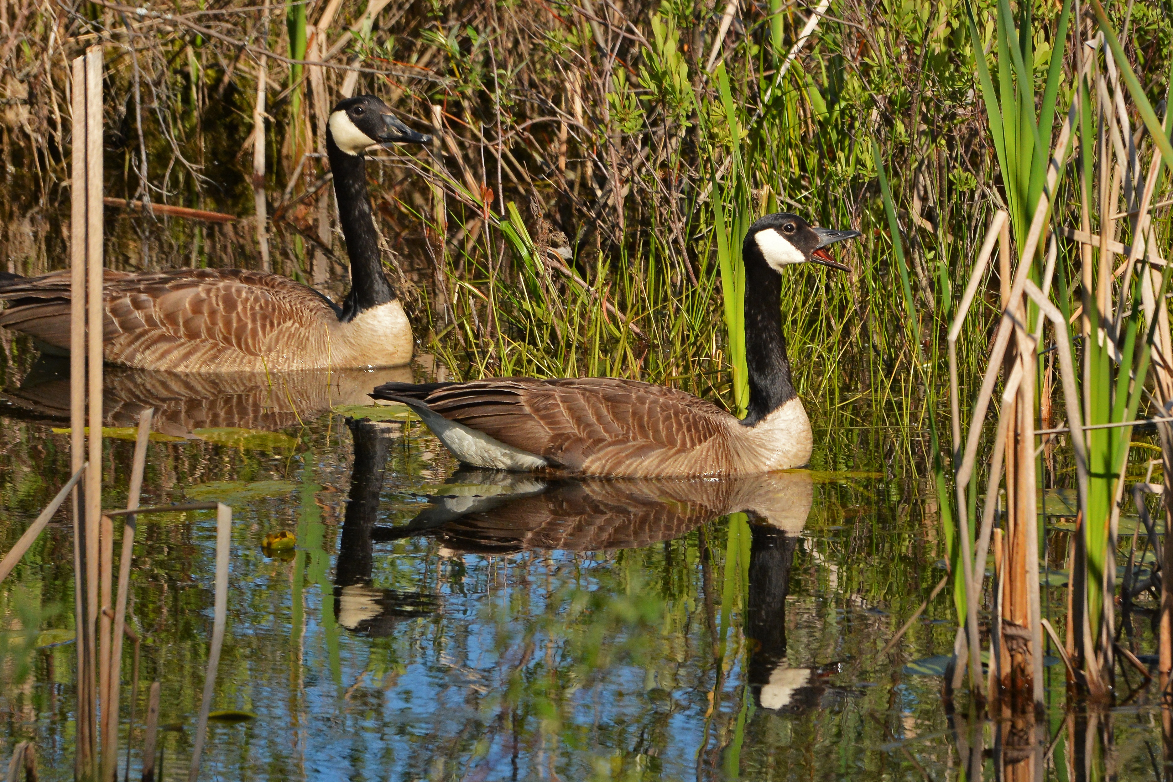 Canada Goose parka sale price - waterfowl | Nick's Nature Pics