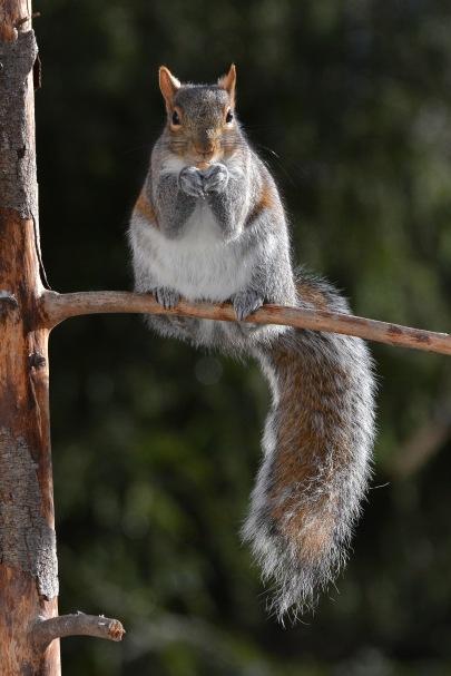 GraySquirrel28Dec15#2430E2c4x6
