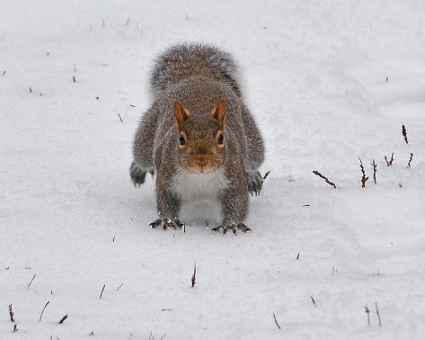 GraySquirrel29Dec15#2488E2c8x10