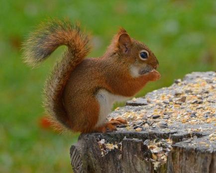 RedSquirrel11Nov15#1711E2c8x10