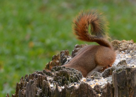 RedSquirrel21Nov15#1796E2c5x7