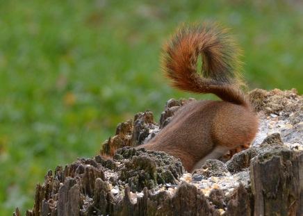RedSquirrel21Nov15#1796E2c5x7
