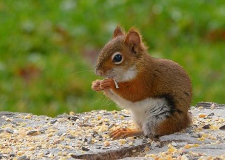 RedSquirrelStub11Nov15#001E2c5x7