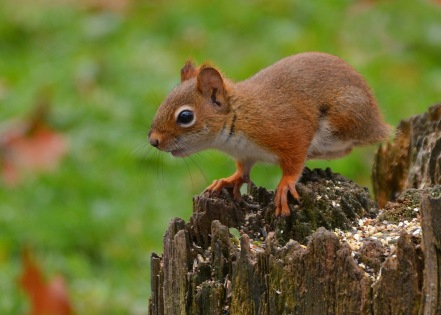 RedSquirrelStub13Nov15#1727E2c5x7