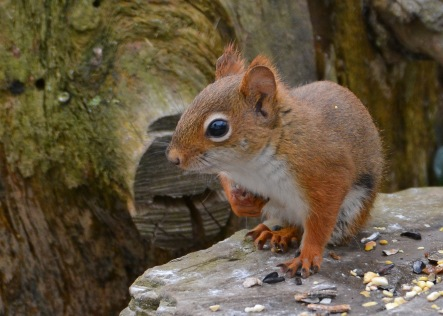 RedSquirrelStub13Nov15#1744E2c5x7