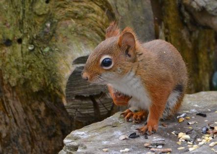RedSquirrelStub13Nov15#1744E2c5x7