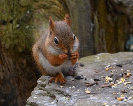 RedSquirrelStub13Nov15#1745E4c8x10
